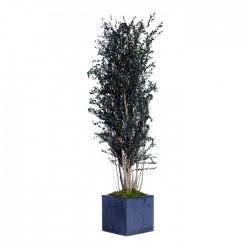 Стабилизированное дерево, Эвкалипт Парвифолия, высота: 150 см.