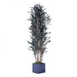 Стабилизированное дерево, Эвкалипт Парвифолия, высота: 200 см.