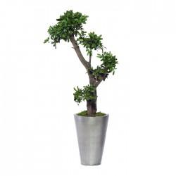 Стабилизированное дерево. Питтоспорум, высота: 100 см.