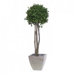 Стабилизированное дерево. Питтоспорум, высота: 150 см.
