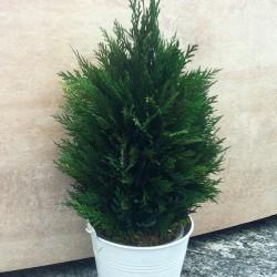 Стабилизированное дерево, Туя, высота: 30 см.